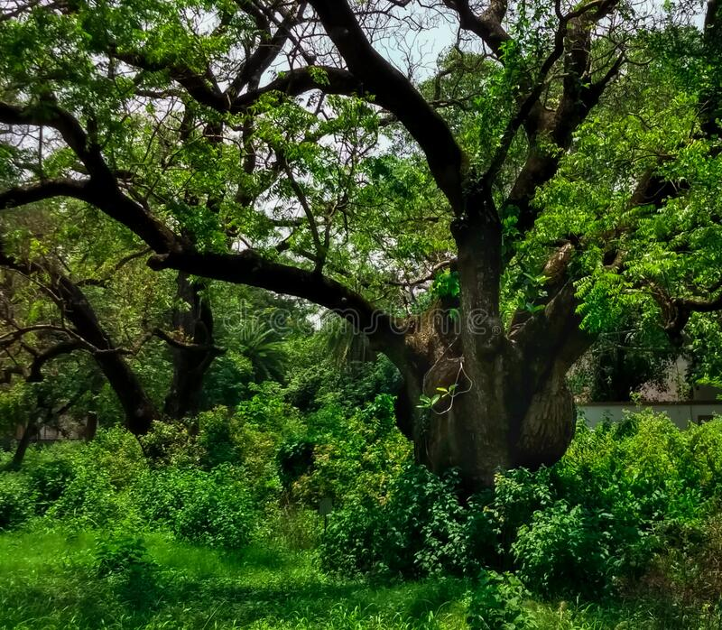 Old Neem tree.Captured at kharagpur IIT in India. royalty free stock photography