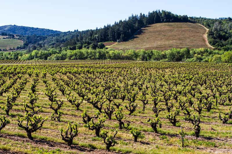 Old and New: Wine Country Renewal. An old vine vineyard begins a new growing season, while a newly planted vineyard just gets started in the background. Sonoma royalty free stock photos