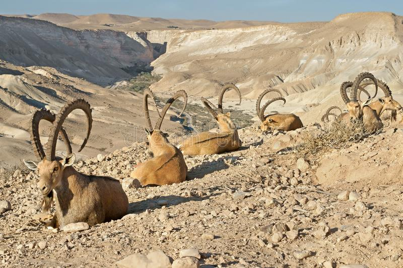 Old Nubian ibex Capra nubiana sinaitica  in mountains in Negev desert of southern Israel.  royalty free stock photography