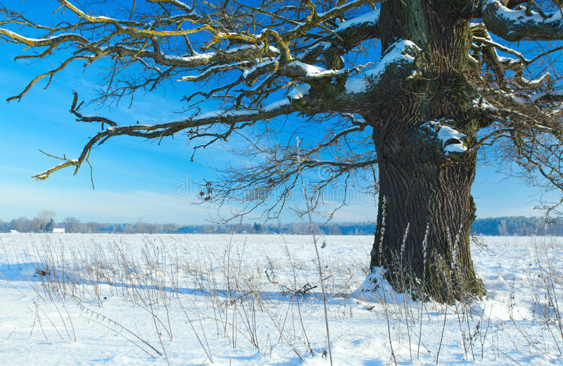Download Old Oak Stock Photography - Image: 12486642