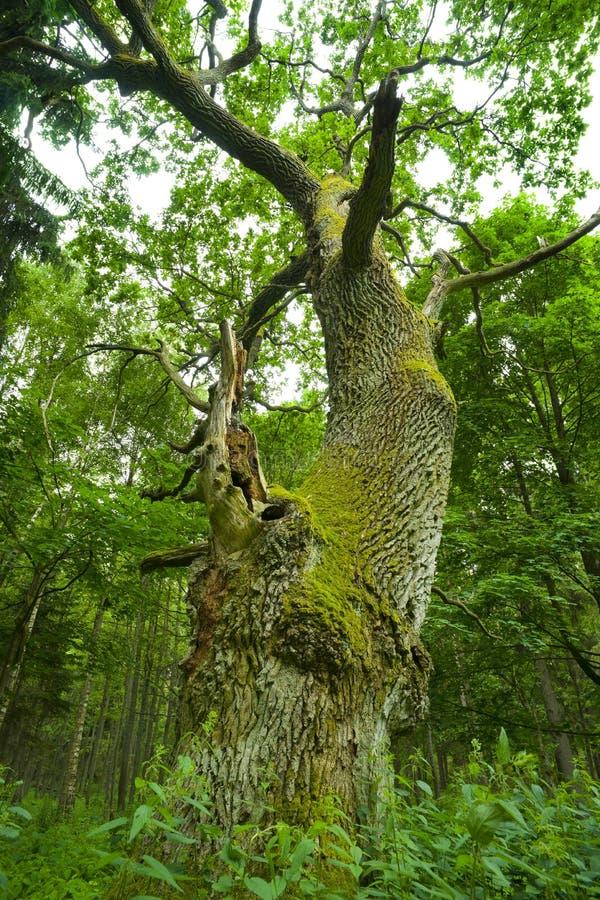 Free Old Oak. Royalty Free Stock Image - 9813626