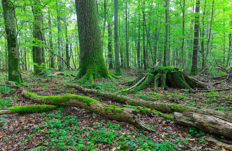 Old oak moss wrapped stump. With old oak tree in background and parts of broken ash tree branches in foreground, Bialowieza Forest, Poland, Europe royalty free stock photos
