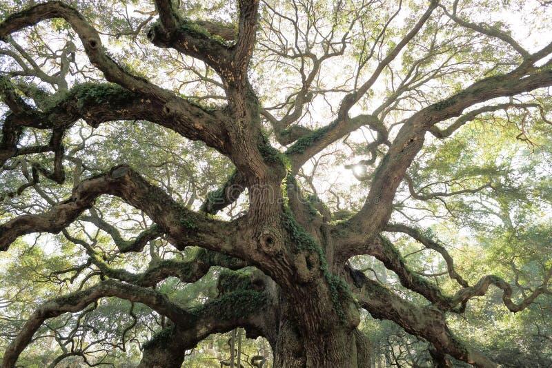 Old oak tree Angel Oak South Carolina stock image