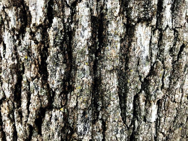 Old Oak tree bark, natural background texturedd royalty free stock image
