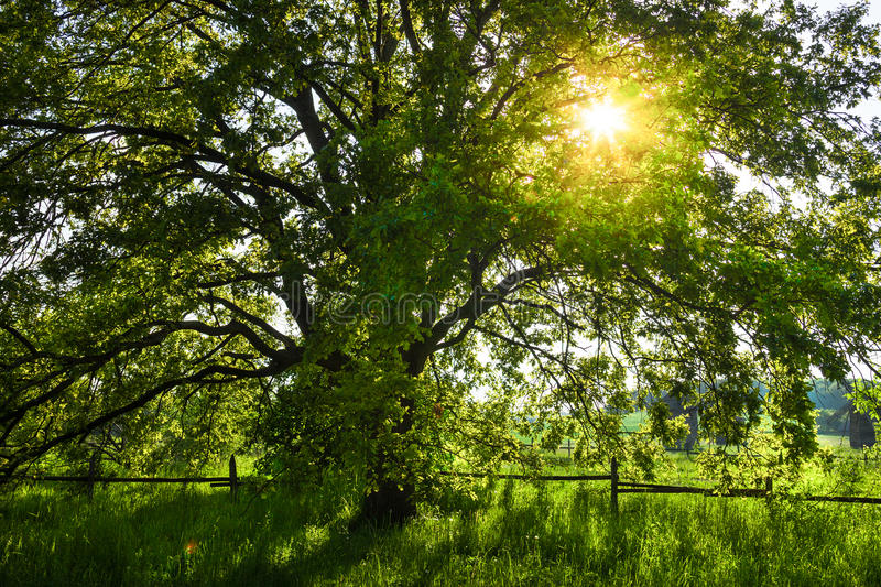 The old oak tree in bright summer day.  royalty free stock image