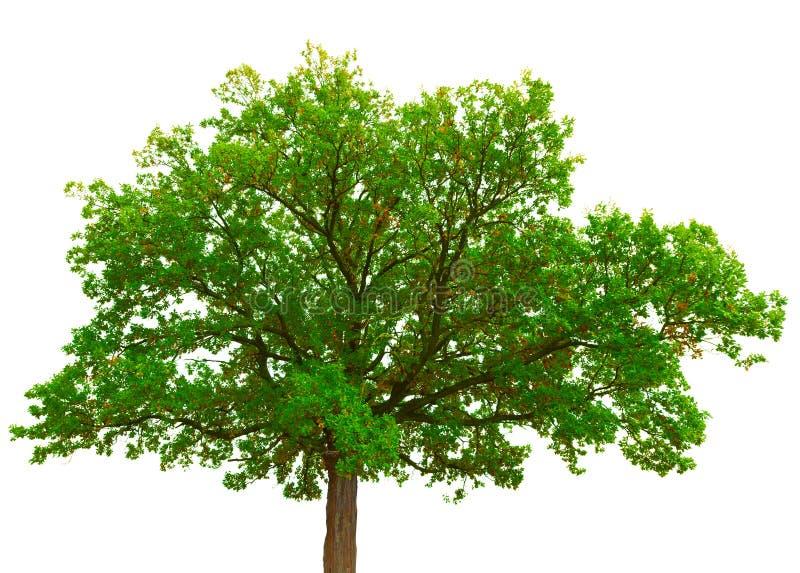 Old oak tree crown on white background stock photos