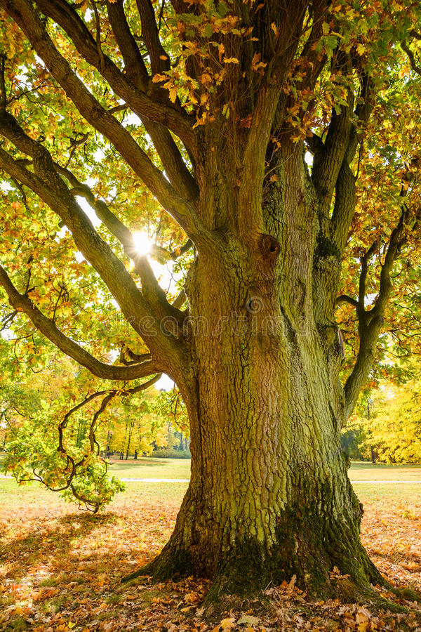 Old oak tree at fall time garden stock image