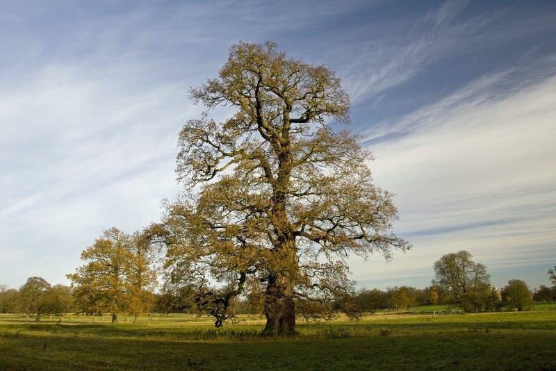 Old Oak Tree in late Autumn