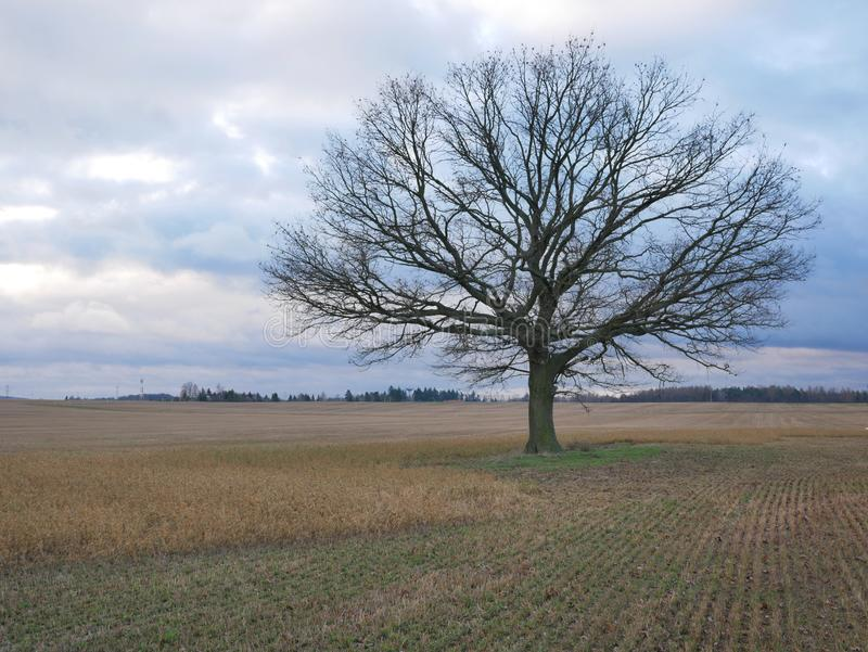 Old oak tree in the middle of the field stock image