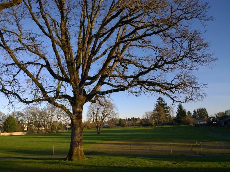 Old oak tree royalty free stock image