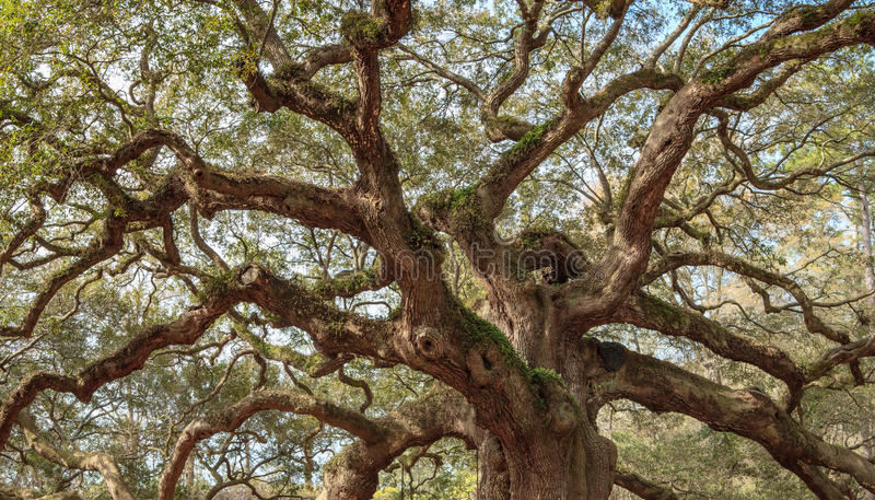 Old Oak Twisted Tree Branches stock photos