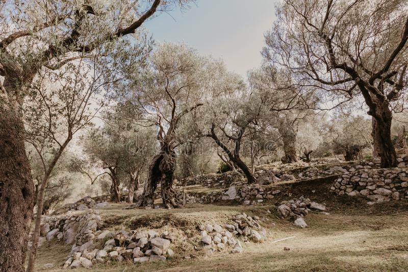 Old olive grove. Old olive trees grove background stock photo