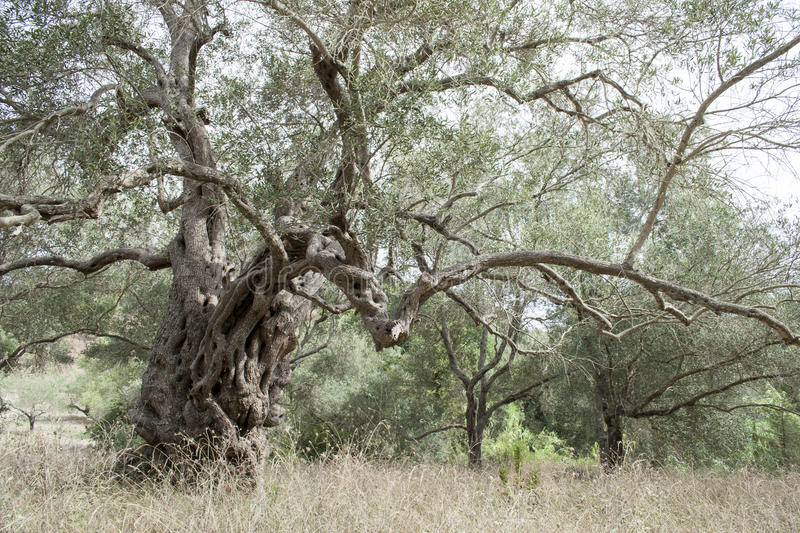 Old olive tree. In forest stock photos
