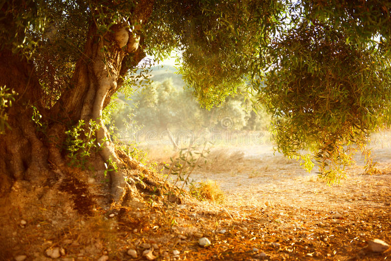Old Olive Tree. Olive Garden stock photos