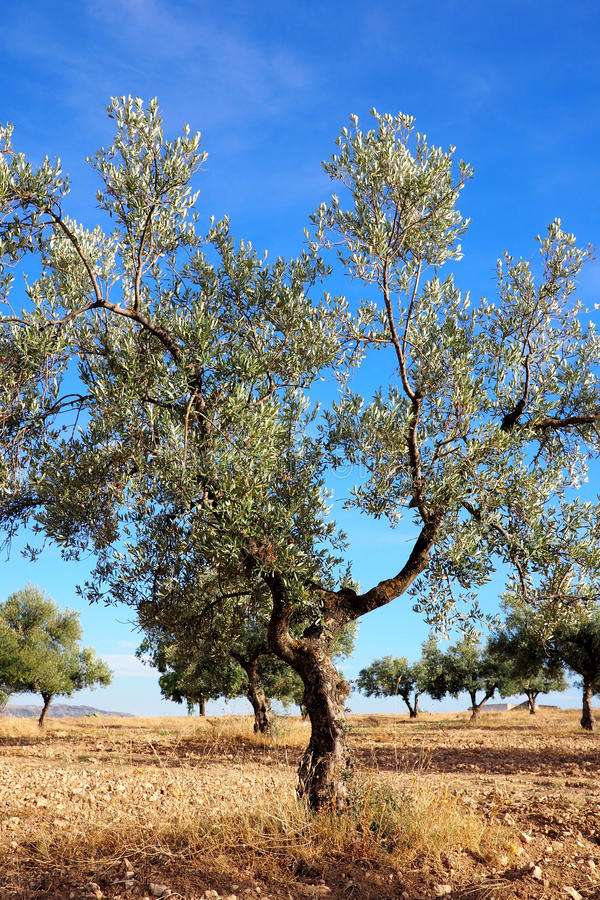 Old olive tree on a farm royalty free stock images