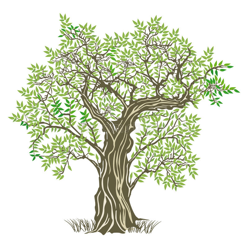 Old olive tree. An illustration of an old olive tree