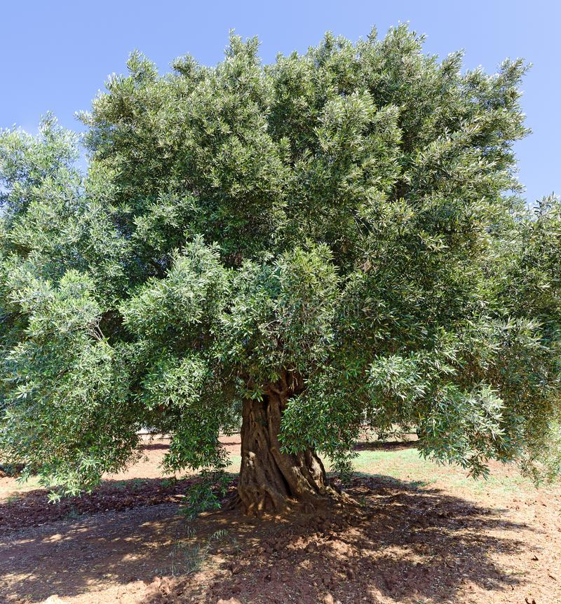 Old olive tree. With knobby trunk and mighty crown, Italy royalty free stock images