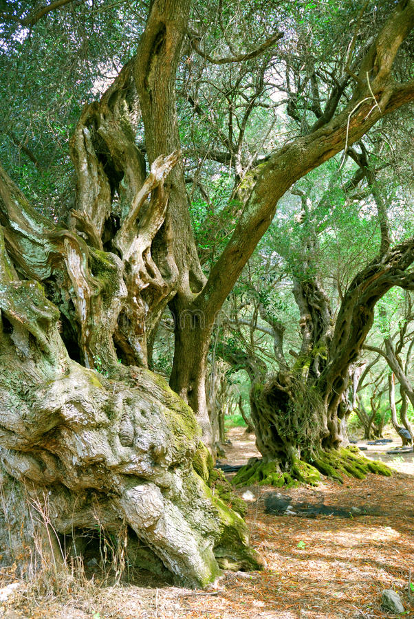 Old Olive Trees stock photos