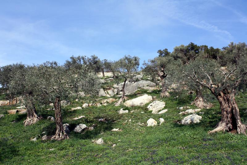 Old Olive Trees In The Mediterranean Garden Stock Photo Image Of