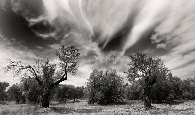 Download Old olivetrees stock photo. Image of tree, tone, wood - 4478672