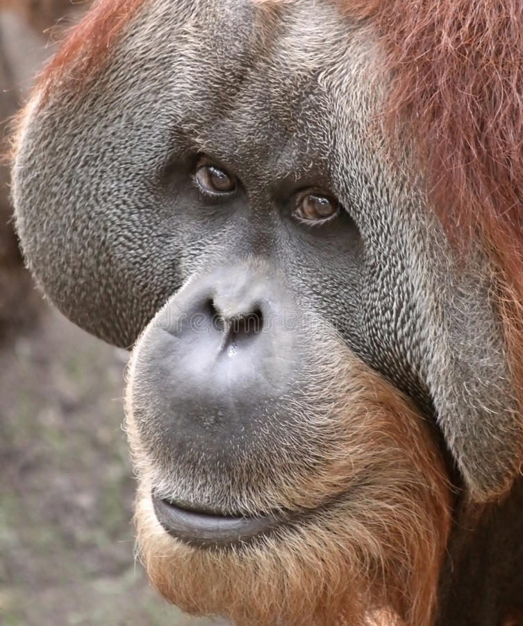 Free Old Orangutan 03 Stock Photography - 17929392