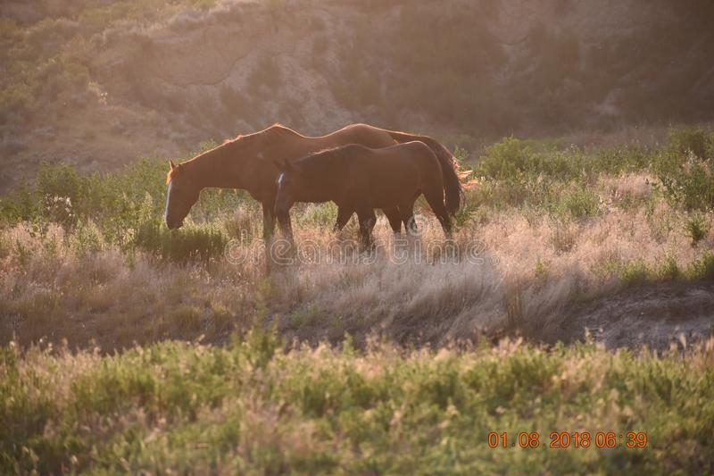 Old pals out to pasture. Horses are one of man`s best animal friends. They serve us well, and when they age and are too old or maybe crippled up to be ridden royalty free stock photos