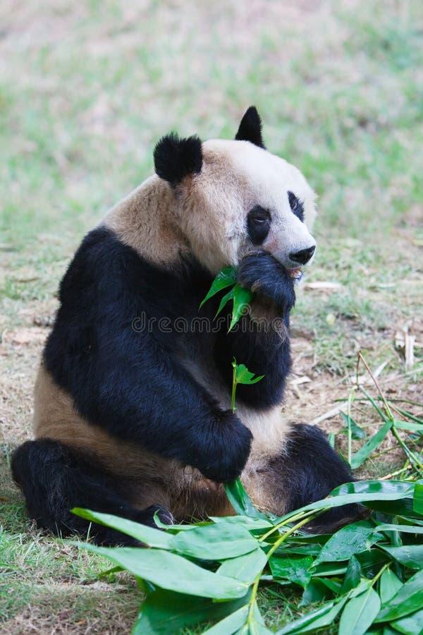 Old panda eating bamboo leaves stock photo