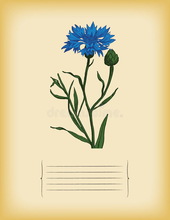 Old paper template with Blue Cornflower. Vector royalty free stock image