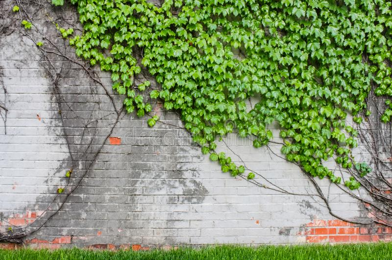 Old partially painted brick fence with vines and leaves climbing all over it with green grass at the bottom - grunge background royalty free stock photography