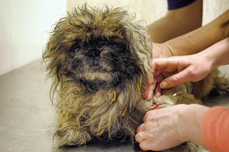An old Pekingese found homeless with a festering eye stock photography