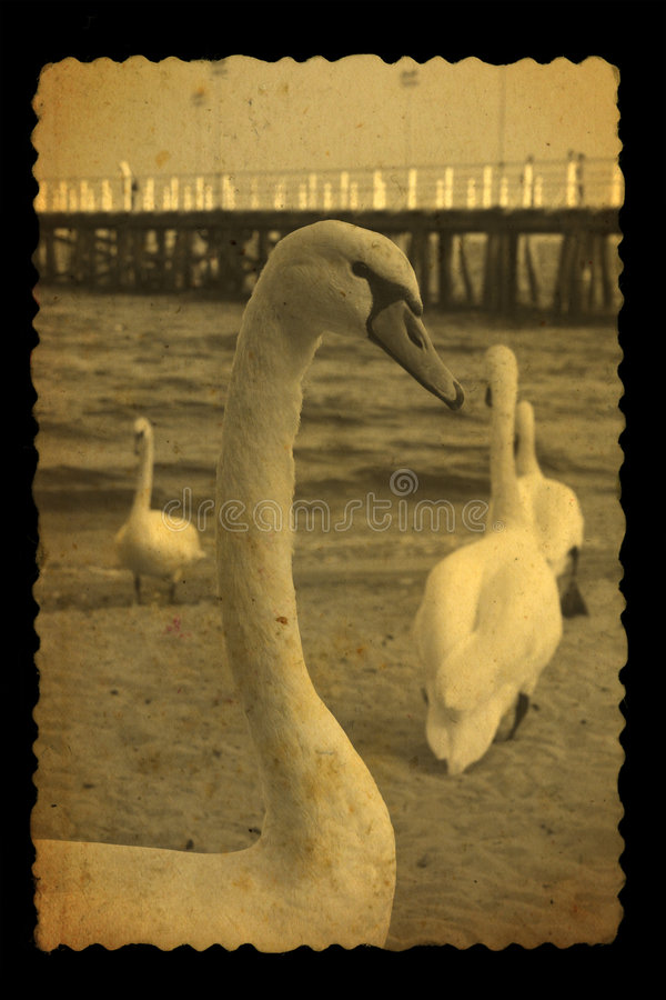 Old photography of swans stock image