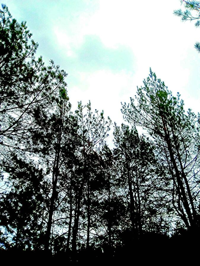 Pine forest. An old pine forest royalty free stock photography