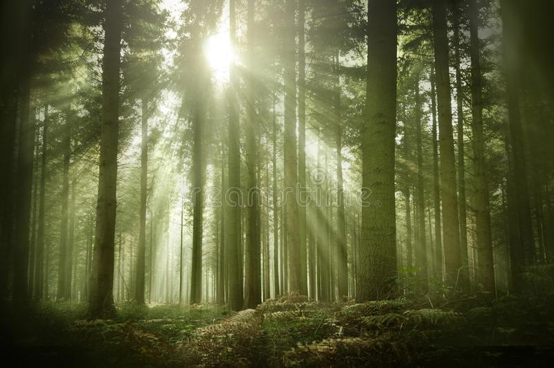 An Old Pine Forest In Autumn Sunshine royalty free stock photos