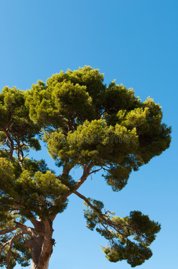 Download Old pine tree stock photo. Image of branches, coniferious - 21661120