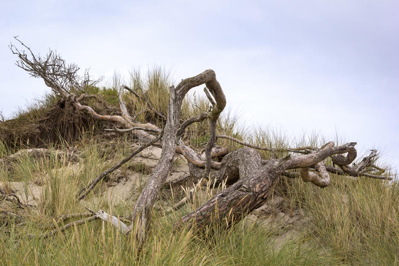 Old Pine Tree. At the Baltic Sea, Darss, Weststrand, Mecklenburg-Vorpommern, Germany stock images
