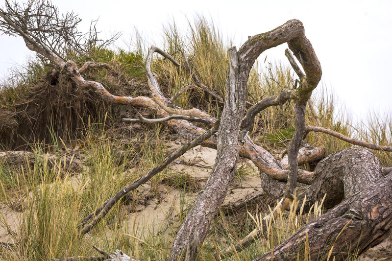 Old Pine Tree. At the Baltic Sea, Darss, Weststrand, Mecklenburg-Vorpommern, Germany stock photography