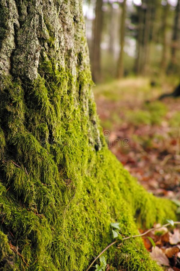 Old pine tree with nice moss. Old pine tree with nice green moss royalty free stock images