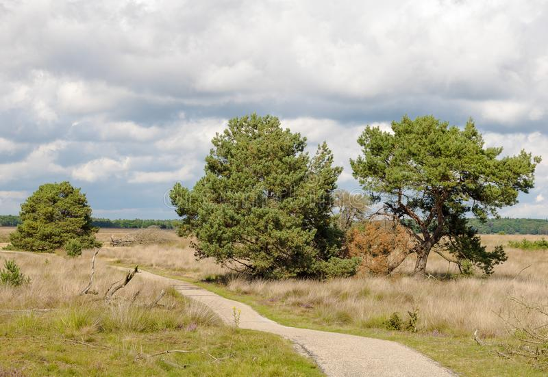 Old pine trees and heath grass beneath a bicycle way royalty free stock photo