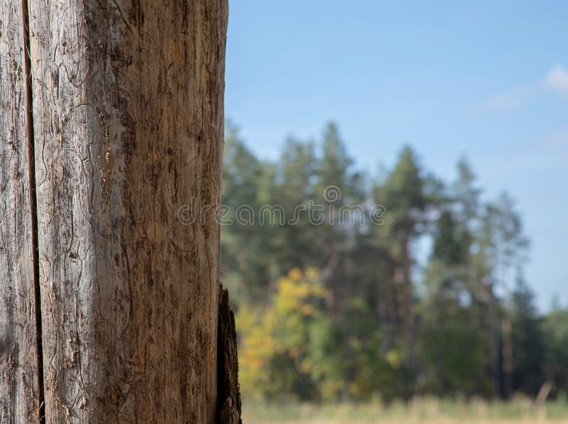 Old pine trunk closeup, without bark. royalty free stock photo