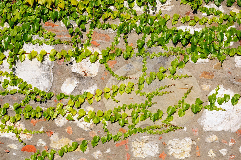 Old plastered stone wall grown over with green ivy royalty free stock photo