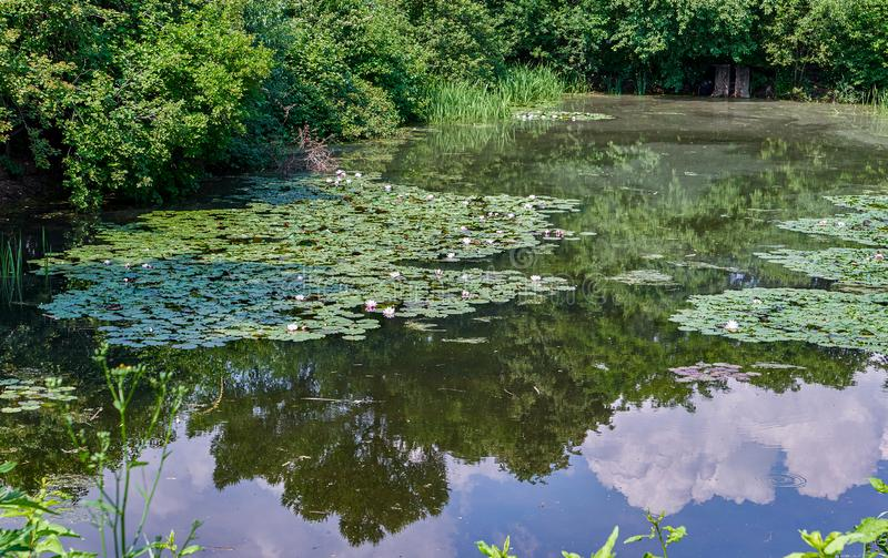 Old pond with water lily flowers and gren tree reflections in botanical garden royalty free stock photos
