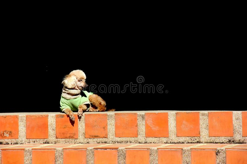 Old poodle dog. Old lonely poodle dog lying on the brick stair stock photo