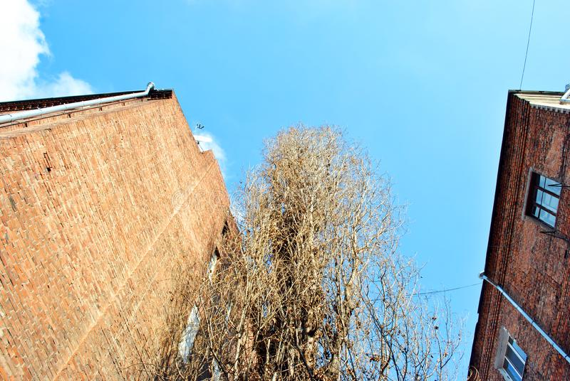 Old poplar tree without leaves, red brick buildings walls with windows on winter bright blue sky background, view from ground royalty free stock photos