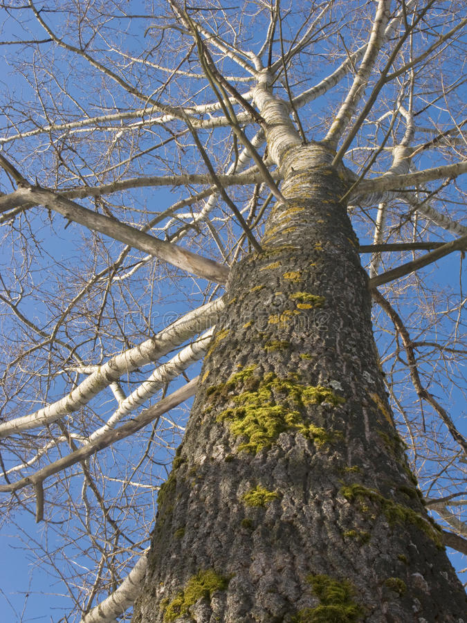 Old poplar tree trunk stock images