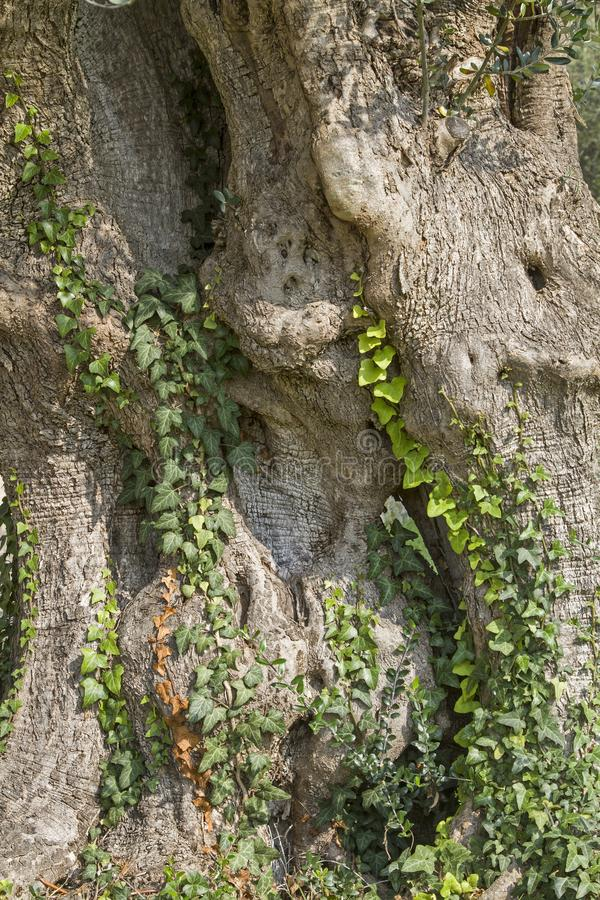 Old powerful tree trunk of an olive tree royalty free stock photos
