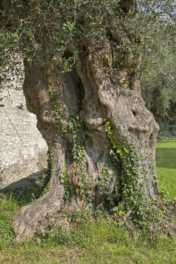 Old powerful tree trunk of an olive tree royalty free stock image
