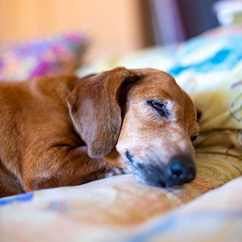 Old pretty dachshund royalty free stock images