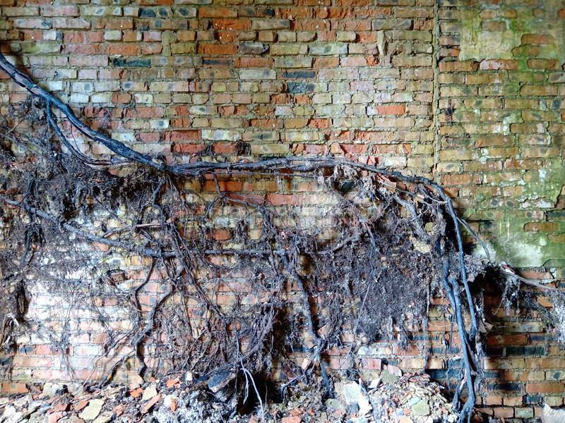 Old, ragged brick wall texture. With Tree Roots stock photography