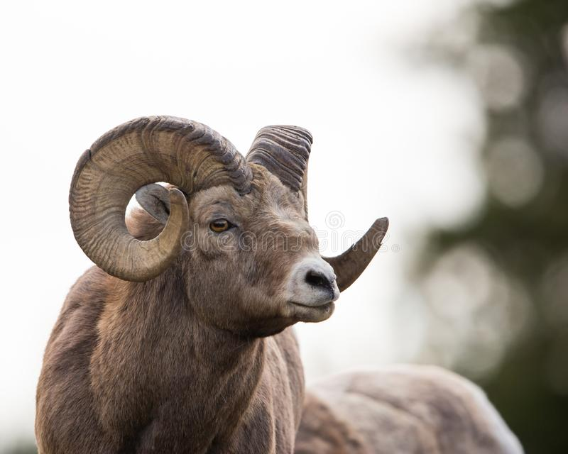 Old Ram portrait stock images