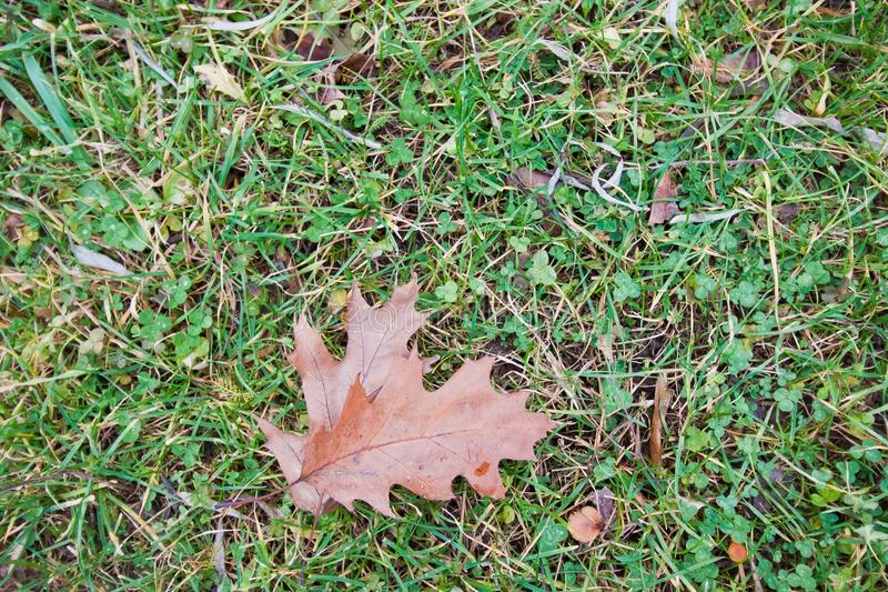 Old red fallen oak leaves on earth with green clover and grey grass, autumn seasonal background photo royalty free stock images